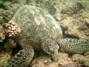 Sea Turtle at Rest